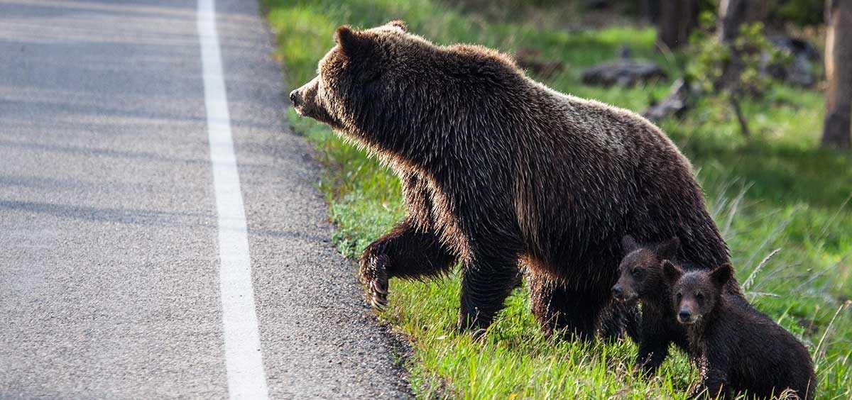 Медвежонок в Калифорнии
