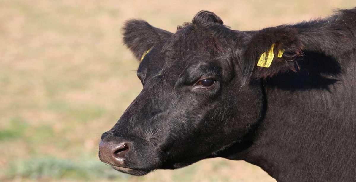 В Канаде продали корову за 106 тысяч долларов