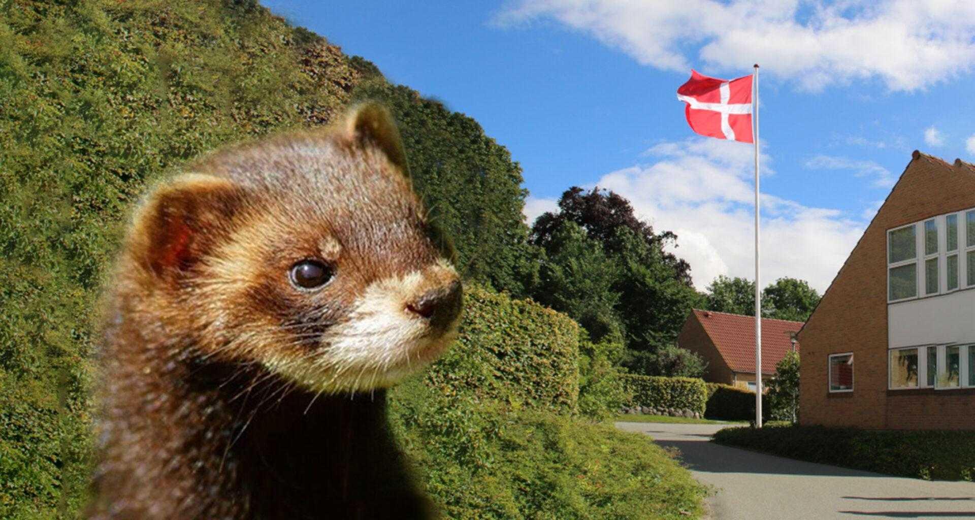 В Дании новый «норковый» коронавирус обнаружен уже у 214 человек